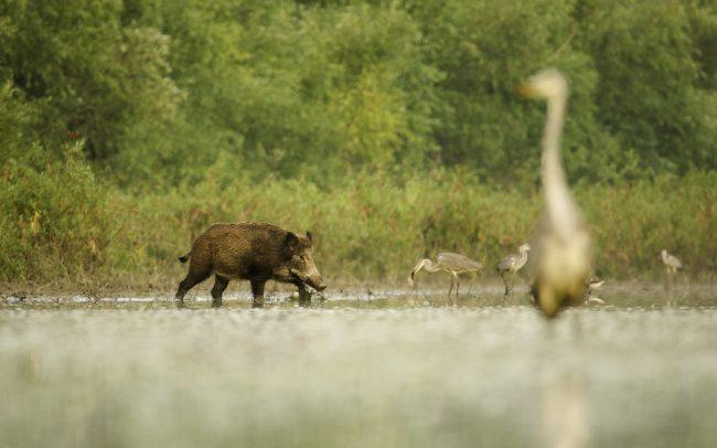 Vaddisznó (Sus scrofa), Duna menti erdők Tájvédelmi Körzet, Csallóköz