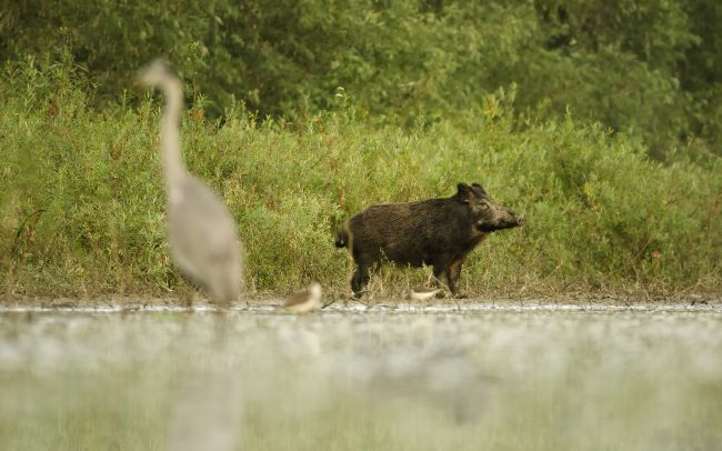 Wild Boar (Sus scrofa), Danube Floodplains Protected Landscape Area, Great Rye Island, Slovakia