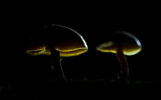 Plamienka zimná (Flammulina velutipes), CHKO Dunajské luhy, Žitný ostrov