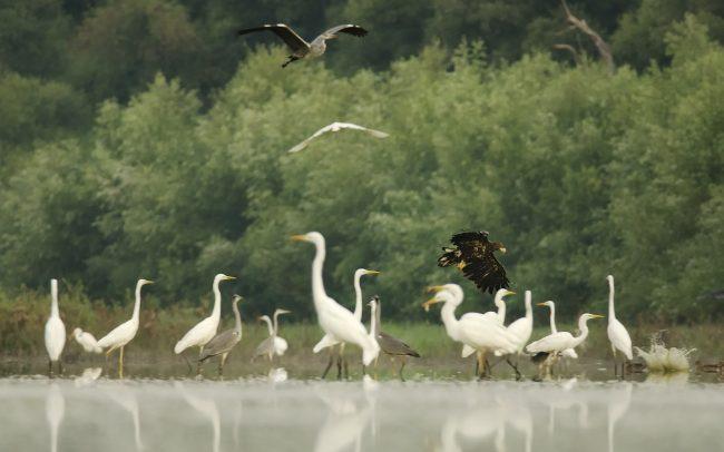 White-tailed Eagle (Haliaeetus albicilla), Danube Floodplains Protected Landscape Area, Great Rye Island, Slovakia