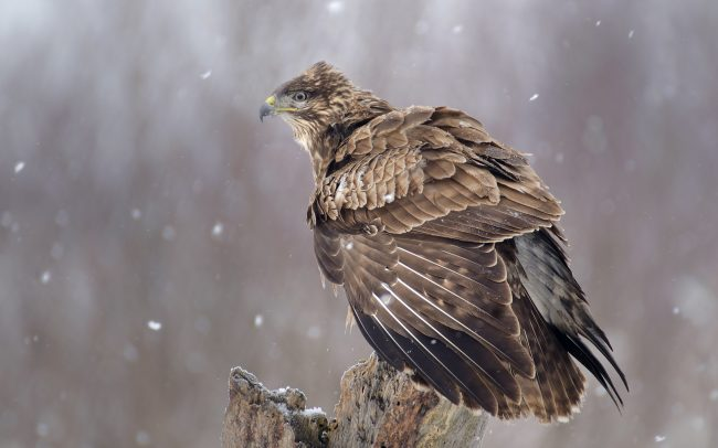 Common Buzzard (Buteo buteo), Great Rye Island, Slovakia