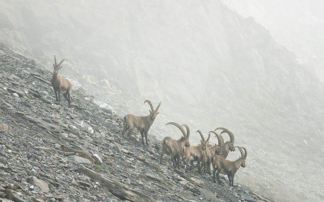 Kozorožec vrchovský (Capra ibex), Prírodná rezervácia Combe de l'A, Švajčiarsko