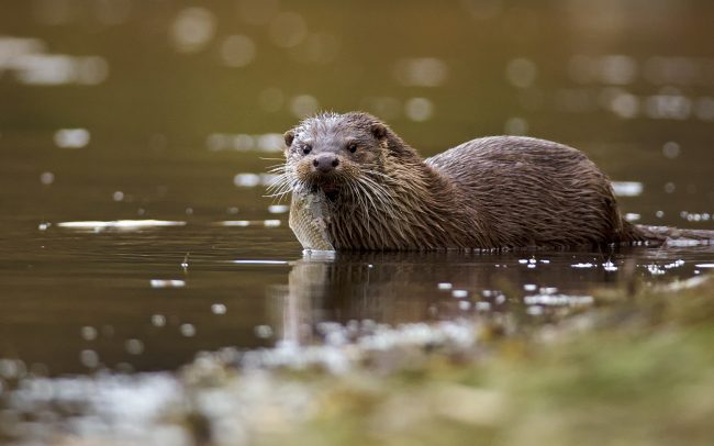 European Otter (Lutra ultra), Danube Floodplains Protected Landscape Area, Great Rye Island, Slovakia