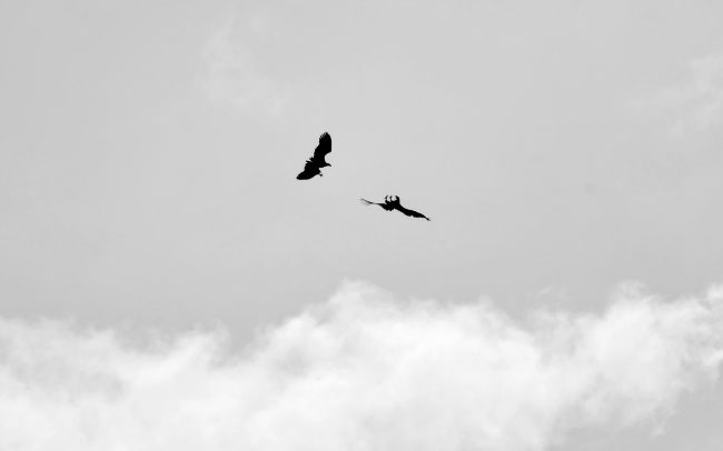 Orliak morský (Haliaeetus albicilla), Gemenc, Národný park Duna-Dráva, Maďarsko