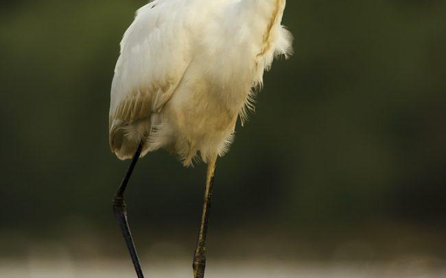 Great Egret (Egretta alba), Danube Floodplains Protected Landscape Area, Great Rye Island, Slovakia