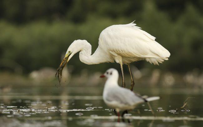 Volavka biela (Egretta alba), CHKO Dunajské luhy, Žitný ostrov