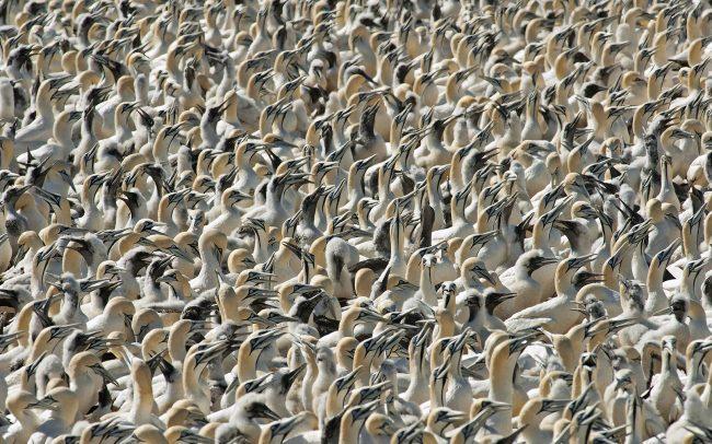 Fokföldi szula (Morus capensis), Bird Island Természeti Rezervátum, Dél-Afrika
