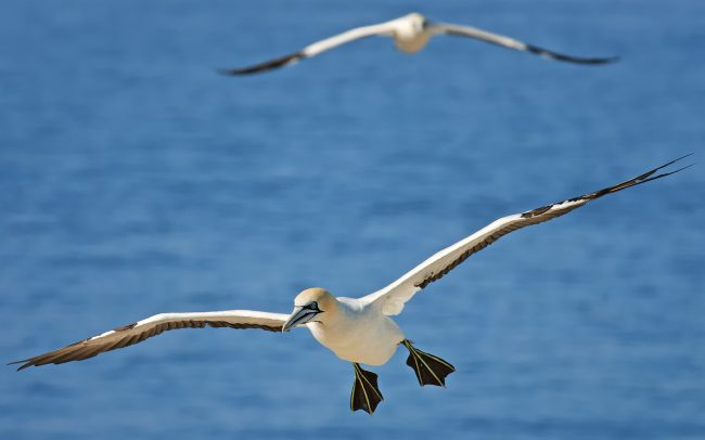 Cape Gannet (Morus capensis), Bird Island Nature Reserve, South Africa
