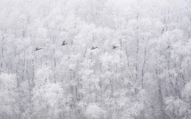 Tőkés réce (Anas platyrhynchos), Duna menti erdők Tájvédelmi Körzet, Csallóköz