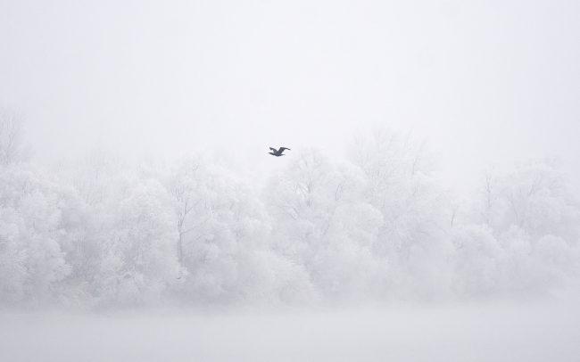 Nagy kárókatona (Phalacrocorax carbo), Duna menti erdők Tájvédelmi Körzet, Csallóköz