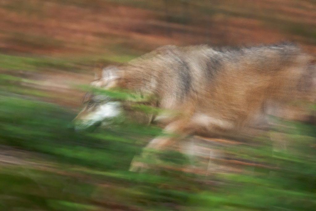 Vlk dravý (Canis lupus), Národný park Bavorský les, Nemecko