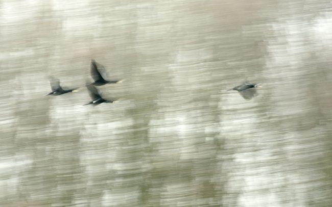 Kormorán veľký (Phalacrocorax carbo), CHKO Dunajské luhy, Žitný ostrov