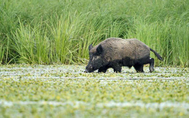 Wild Boar (Sus scrofa), Gemenc, Duna-Dráva National Park, Hungary
