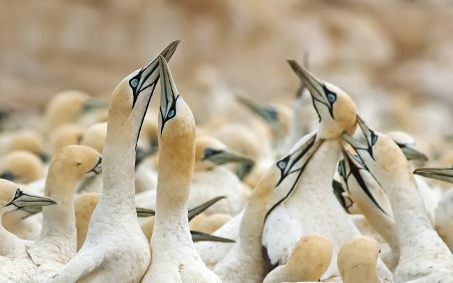 Sula tmavochvostá (Morus capensis), Prírodná rezervácia Bird Island, Južná Afrika