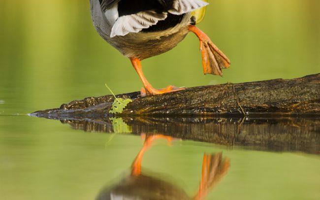 Kačica divá (Anas platyrhynchos), Žitný ostrov