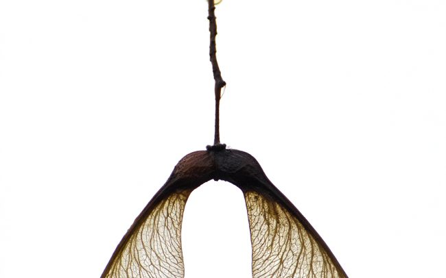 Tatár juhar ( Acer tataricum), Csallóköz