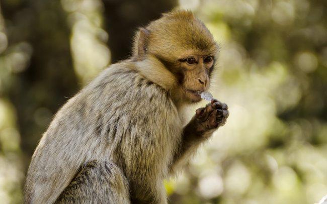 Barbary Macaque (Macaca sylvanus), Middle Atlas