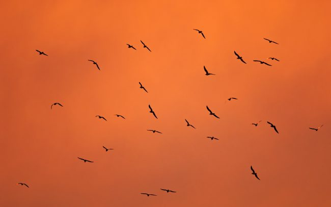 Gulls (Larus sp.), Great Rye Island, Slovakia