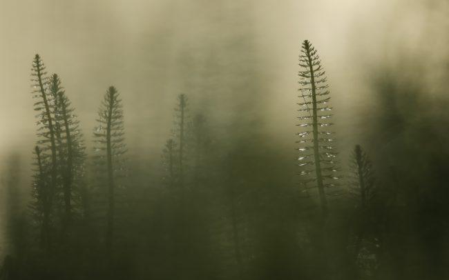 Truskavec obyčajný (Hippuris vulgaris), CHKO Dunajské luhy, Žitný ostrov