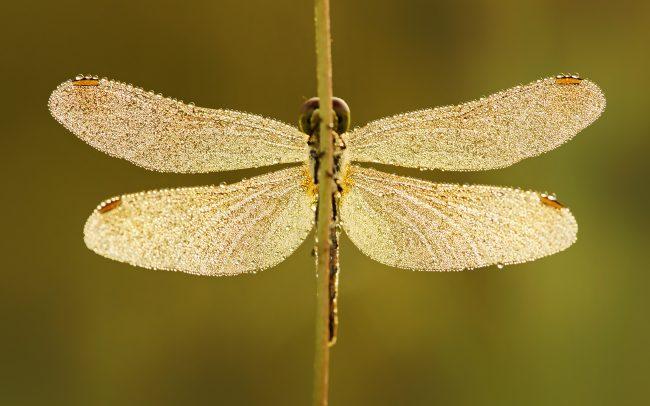 Vážka (Sympetrum sp.), CHKO Dunajské luhy, Žitný ostrov