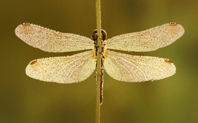 Dragonfly (Sympetrum sp.), Danube Floodplains Protected Landscape Area, Great Rye Island, Slovakia