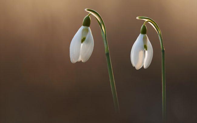 Snežienka jarná (Galanthus nivalis), CHKO Dunajské luhy, Žitný ostrov