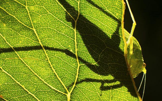 Zöld lombszöcske (Tettigonia viridissima), Csallóköz