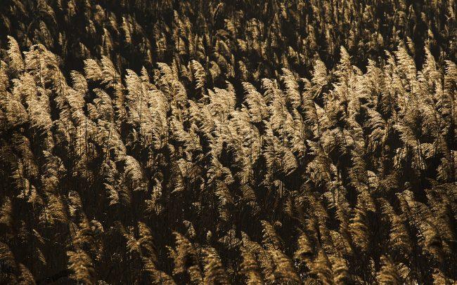 Trsť obyčajná (Phragmites australis), CHKO Dunajské luhy, Žitný ostrov