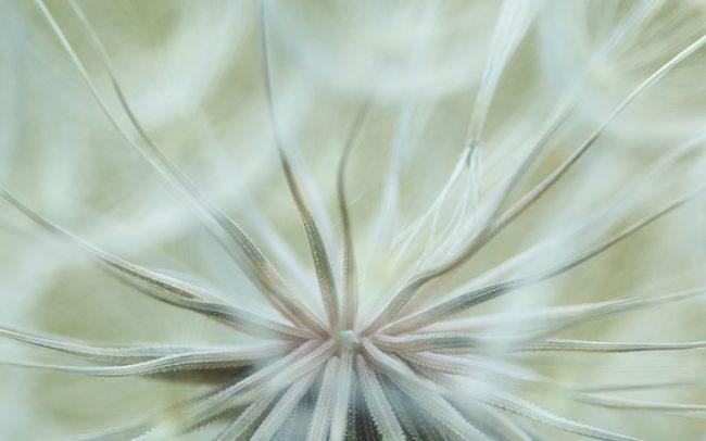 Közönséges bakszakáll (Tragopogon orientalis), Duna menti erdők Tájvédelmi Körzet, Csallóköz