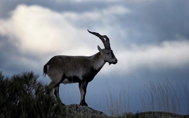 Kozorožec ibérijský (Capra pyrenaica victoriae), Sierra de Gredos, Španielsko
