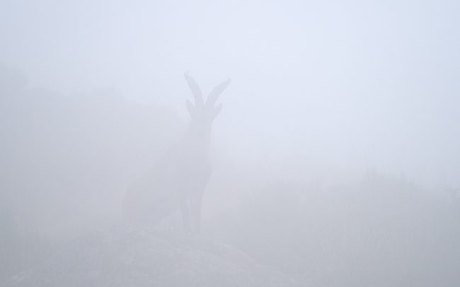 Spanyol kőszáli kecske (Capra pyrenaica victoriae), Sierra de Gredos, Spanyolország
