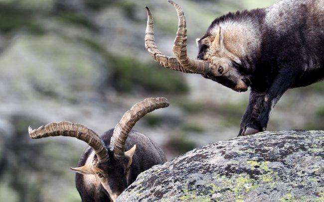 Iberian Ibex (Capra pyrenaica victoriae), Sierra de Gredos, Spain